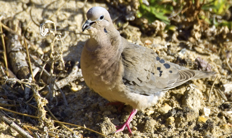 Bag More Doves in Texas – Possesion Limits Increased