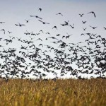 What Makes Dove Hunting Unique