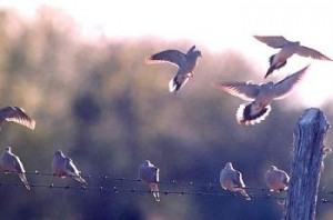 2014-15 Dove Hunting Season